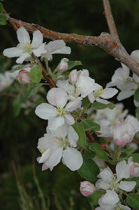Pink Lady Apple flowers