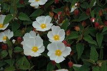 Load image into Gallery viewer, White Rockrose flowers