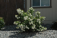 Load image into Gallery viewer, Snowball Viburnum in bloom