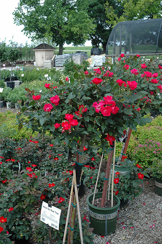 Knock Out® Rose Tree in bloom
