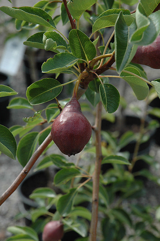 Max Red Bartlett Pear fruit