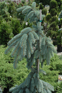 The Blues Colorado Blue Spruce foliage
