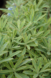 Ascot Rainbow Variegated Spurge foliage