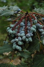 Load image into Gallery viewer, Oregon Grape fruit