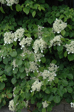 Load image into Gallery viewer, Climbing Hydrangea flowers