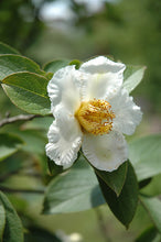 Load image into Gallery viewer, Japanese Stewartia flowers