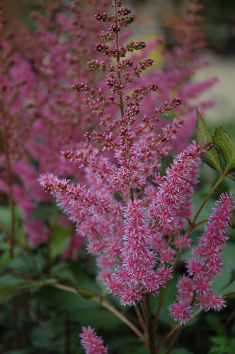 Maggie Daley Astilbe flowers