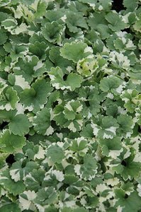 Variegated Ground Ivy foliage