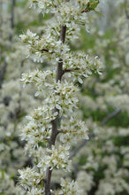 Load image into Gallery viewer, Santa Rosa Plum flowers