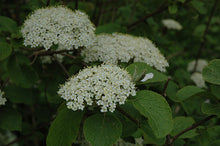 Load image into Gallery viewer, Aurora Viburnum flowers
