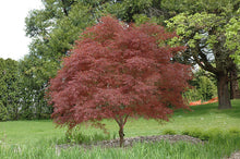 Load image into Gallery viewer, Dwarf Red Pygmy Japanese Maple