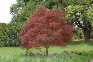 Dwarf Red Pygmy Japanese Maple