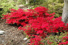 Load image into Gallery viewer, Hino Crimson Azalea in bloom
