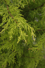 Load image into Gallery viewer, MacNab Cypress foliage