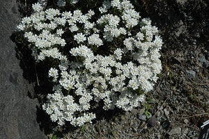 Snowflake Candytuft in bloom