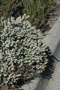 Springwood White Heath flowers