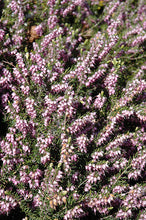 Load image into Gallery viewer, Springwood Pink Heath flowers