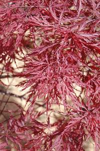 Red Dragon Japanese Maple foliage