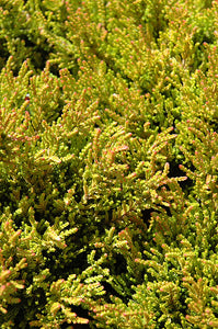 Winter Chocolate Heather foliage
