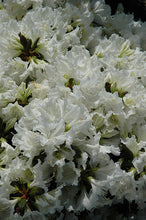 Load image into Gallery viewer, Hino White Azalea flowers