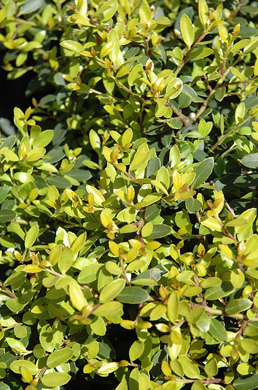 Lemon Gem Dwarf Japanese Holly foliage