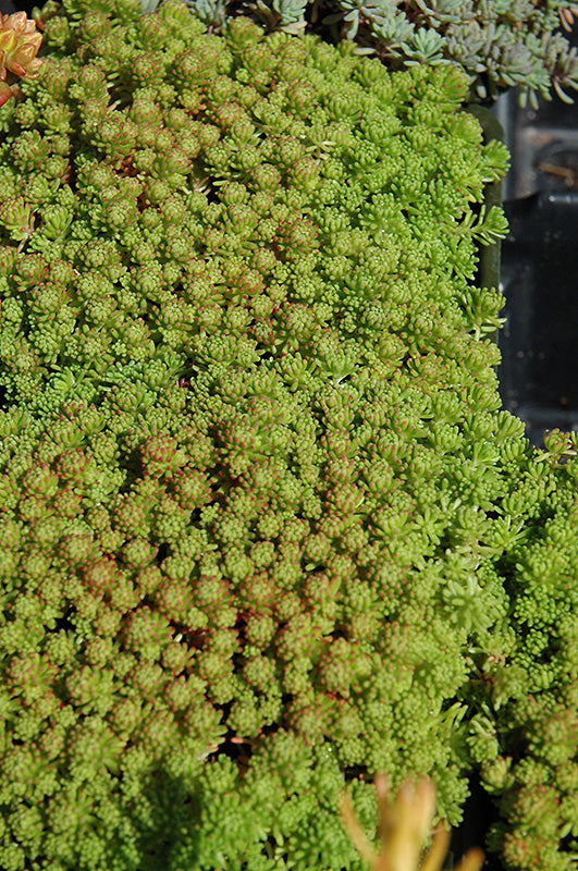 Mossy Stonecrop foliage