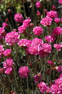 Red-leaved Sea Thrift flowers