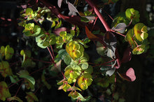 Load image into Gallery viewer, Ruby Glow Wood Spurge flowers