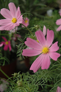 Sensation Cosmos flowers