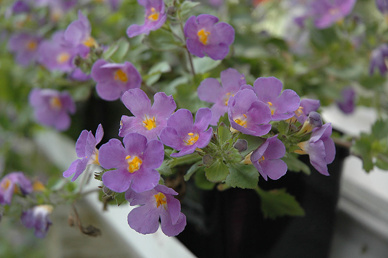 Scopia Gulliver Blue Bacopa flowers