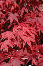 Load image into Gallery viewer, Emperor I Japanese Maple foliage