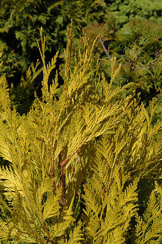 4ever Goldy Arborvitae foliage