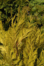 Load image into Gallery viewer, 4ever Goldy Arborvitae foliage