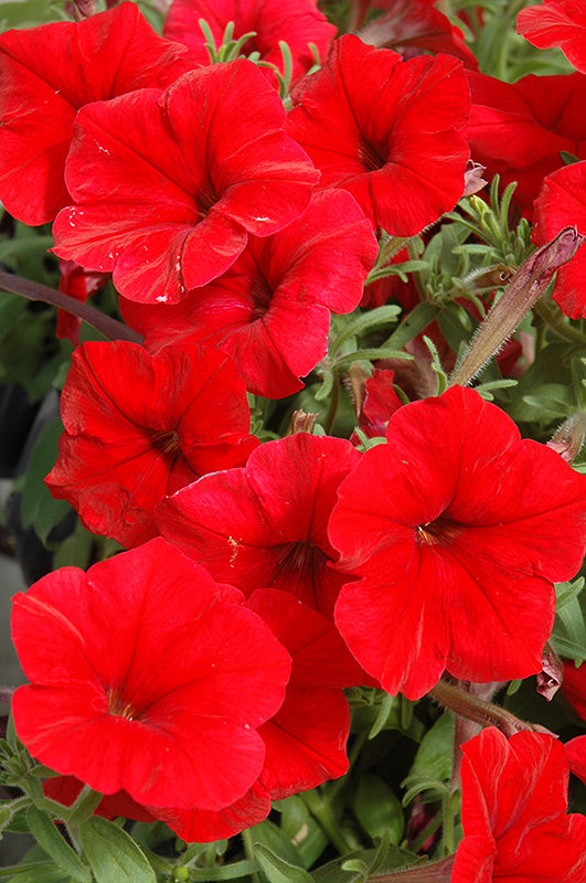 Madness Red Petunia flowers