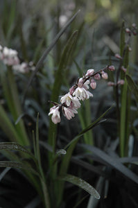 Black Mondo Grass flowers