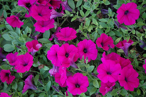 Wave Purple Classic Petunia flowers
