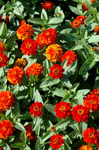 Profusion Double Fire Zinnia flowers