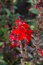 Load image into Gallery viewer, Queen Victoria Lobelia flowers