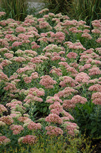 Load image into Gallery viewer, Autumn Joy Stonecrop in bloom
