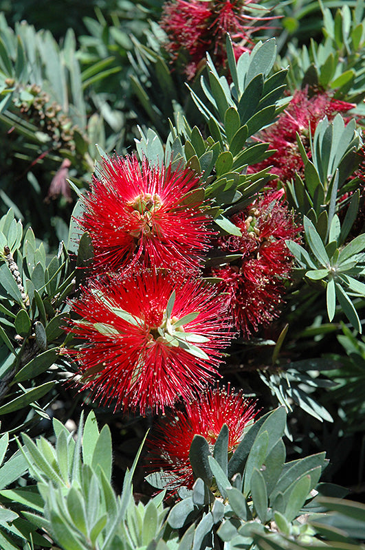 Little John Dwarf Bottlebrush flowers
