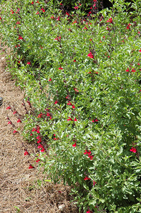 Furman's Red Texas Sage in bloom
