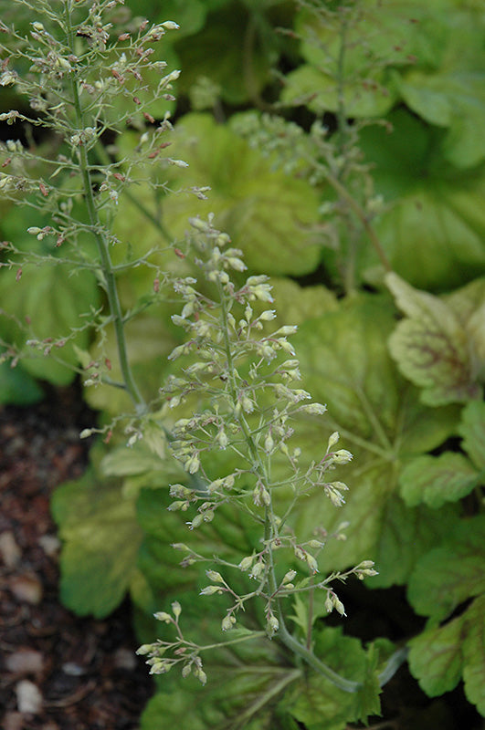 Delta Dawn Coral Bells flowers