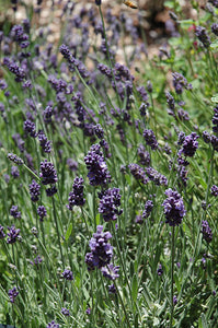 Ellagance Purple Lavender flowers