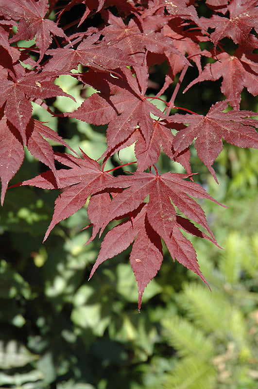 Purple Ghost Japanese Maple foliage