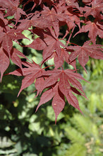 Load image into Gallery viewer, Purple Ghost Japanese Maple foliage