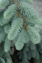 Load image into Gallery viewer, The Blues Colorado Blue Spruce foliage