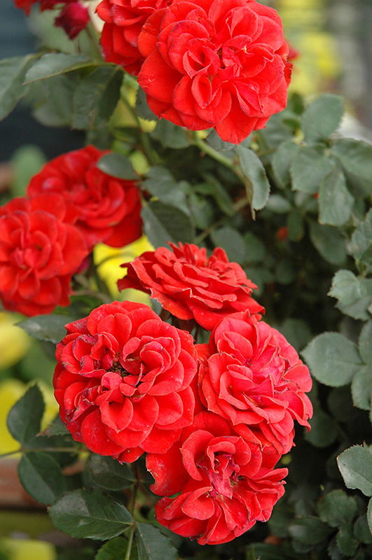 Autumn Sunblaze® Rose flowers