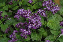 Load image into Gallery viewer, Fragrant Delight Heliotrope flowers