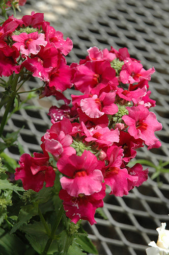 Angelart Raspberry Nemesia flowers