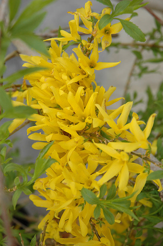 Gold Tide Forsythia flowers